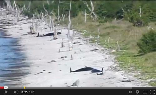 حيتان تعود إلى المياه بعد جنوح قاتل إلى المياه الضحلة في فلوريدا