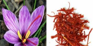 دور النساء في تحقيق الصدارة لمنطقة تالوين في إنتاج وتسويق الزعفران ذي الجودة العالية