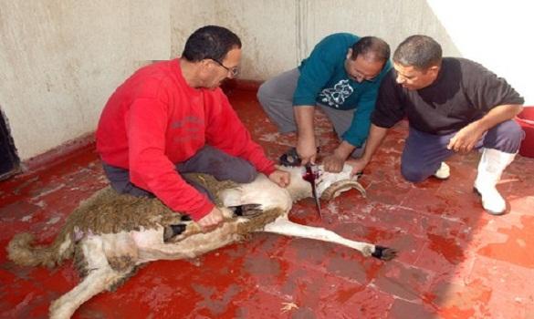 هولندا تفرض على كل مجازرها الذبح على الطريقة الإسلامية لوقف تعذيب الحيوانات!!