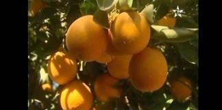 معاناة قطاع انتاج الليمون بسوس ماسة درعة