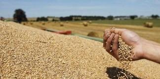 وزارة الفلاحة تتوقع أن يتجاوز محصول الحبوب 100 مليون قنطار خلال الموسم الحالي