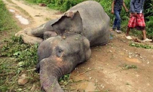 العثور على ثلاثة فيلة نافقة ومنزوعة الأنياب في إندونيسيا