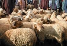 وزارة الفلاحة تؤكد وفرة الأضاحي بمناسبة عيد الأضحى