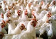 الحرارة ترفع معدل نفوق الدجاج ومخاوف من ارتفاع قياسي في الأسعار