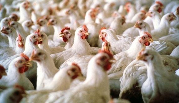 """الإمارات تحظر استيراد الدواجن الحية من روسيا بسبب """"إنفلونزا الطيور"""""""