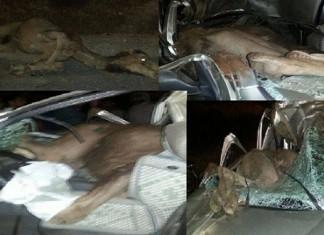 حادثة خطيرة بين سيارة وجملين.. جمل دخل وسط سيارة كونغو بسبب قوة الارتطام