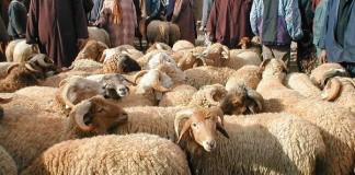 عيد الأضحى.. تعزيز تدابير تتبع ومراقبة تداول الأدوية البيطرية
