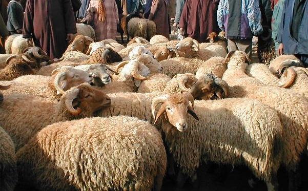 مغاربة مليلية يستعدون للاحتجاج في الشارع على حرمان إسبانيا لهم من الأضاحي المغربية