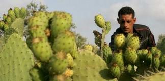 وزارة الفلاحة تطمئن المغاربة بخصوص حشرة كوشنيل التي تهاجم الصبار