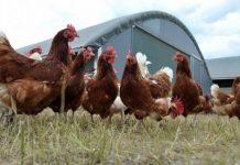 """مهنيون يحذّرون من خطورة استهلاك الدجاج """"الكروازي"""""""