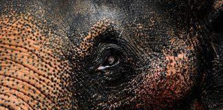 وفاة أحد أكبر أفيال العالم عمرا في الهند