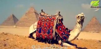 فضل لبن وبول الإبل وخصائص هذا الحيوان - د. محمد الفايد