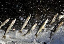 دراسة: تناول الأسماك بكثرة يقي من الشلل الرعاش