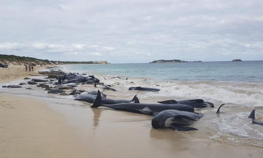 نفوق عدد كبير من الحيتان بعد جنوحها إلى شاطئ في غرب أستراليا