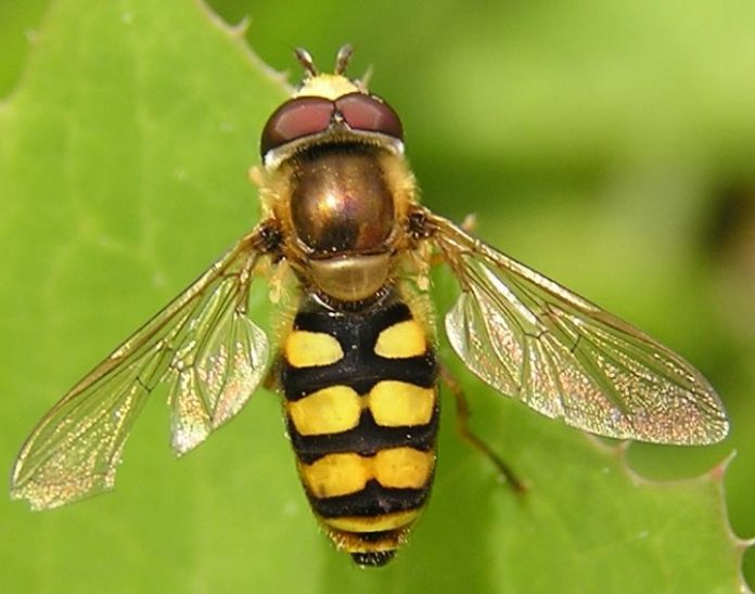 حقيقة الذباب الأصفر الذي ظهر في طنجة