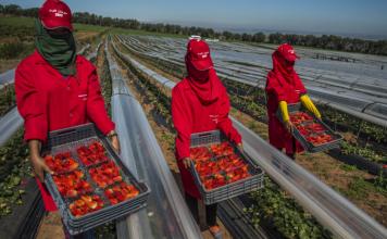 من قلب ويلفا الإسبانية.. عاملات فراولة مغربيات يكسرن جدار الصمت