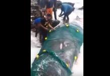 مقطع فيديو للحوت العملاق الذي ظهر قرب مارينا ميتا تم العثور عليه بجوار شاطئ سلا