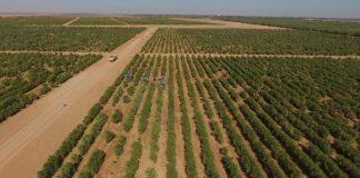 """""""الجوف الزراعية"""" في السعودية تدخل غينيس كأكبر مزرعة زيتون في العالم"""