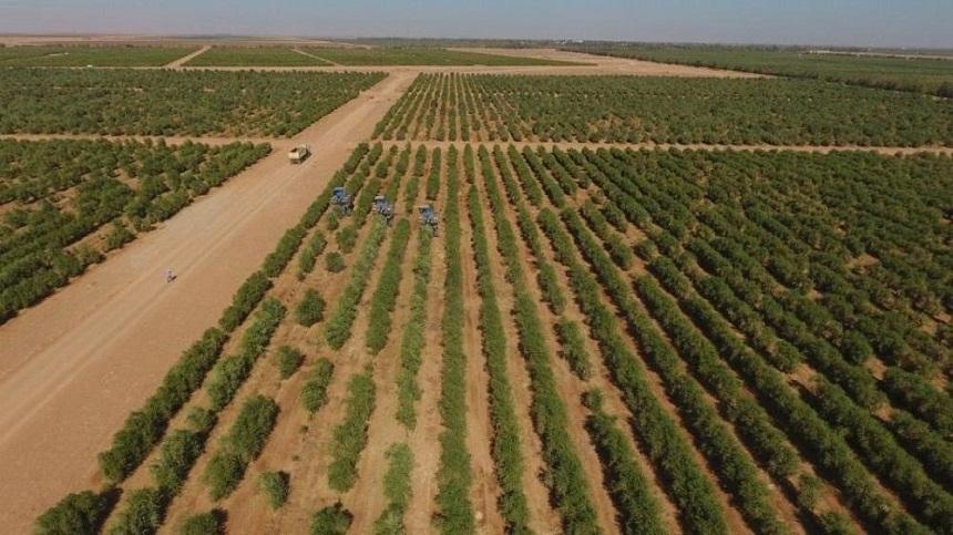 إنتاج الزيتون يحقق معدلات قياسية