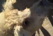 فيديو: ما هذا العجب.. خنازير بصوف خرفان؟.. احذروا تسويق لحومها!!