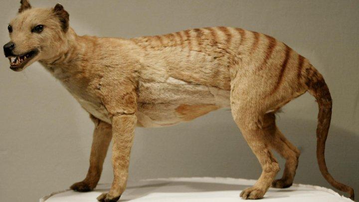 بالفيديو.. ظهور نمر تسمانيا الذي كان يُعتقد أنه انقرض قبل 80 عاماً