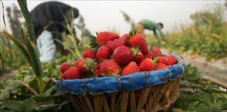 حقول الفراولة الإسبانية.. حلم العاملات المغربيات يتحول إلى كابوس