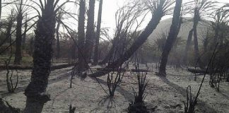 طاطا..أخنونش يطلق برنامجا لإعادة غرس أشجار النخيل المتضررة بالحرائق