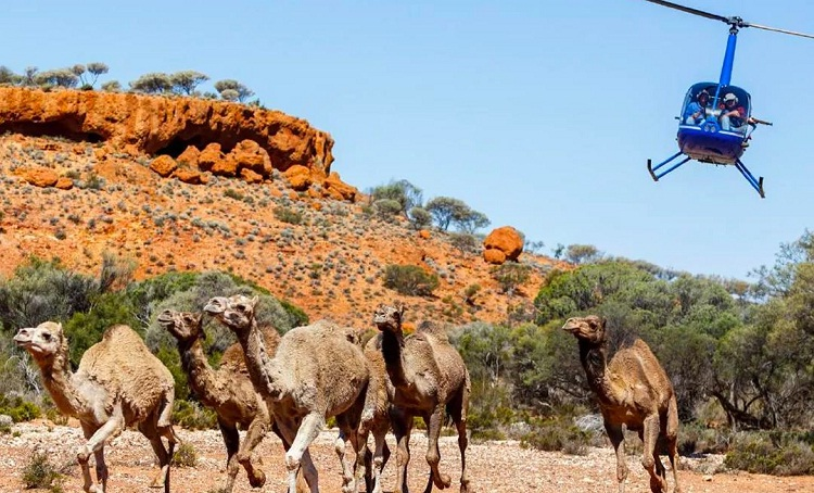 """أستراليا تعدم 5 آلاف من الإبل """"جوًا"""" وسط انتقادات دولية"""