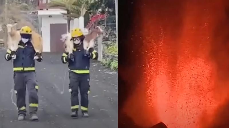شاهد.. رجال الإطفاء ينقذون المواشي حملا على أكتافهم من الحمم البركانية في جزر الكناري