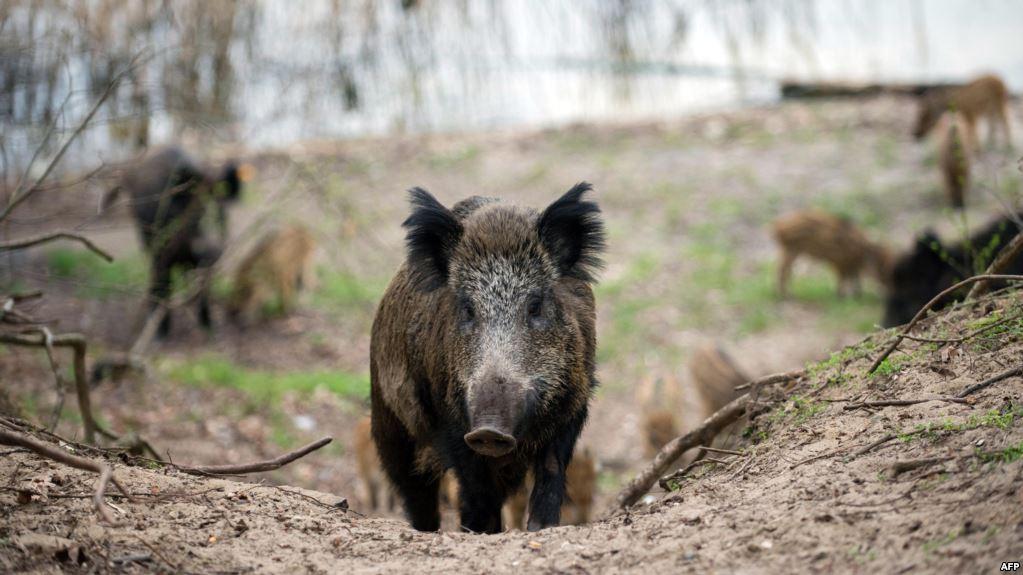 """الخنزير البري يقض مضاجع الفلاحين ب""""إيمولاس"""""""